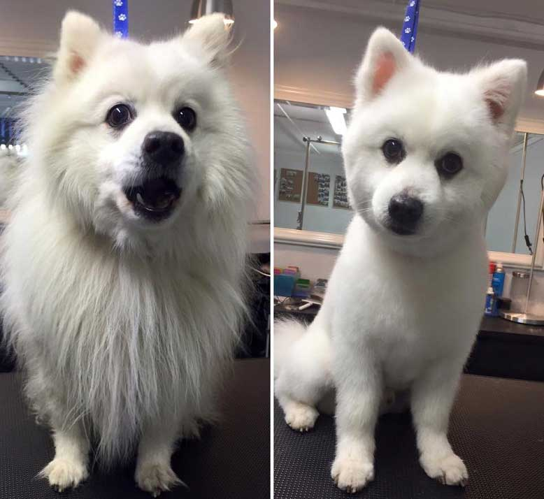 dog after hair cut