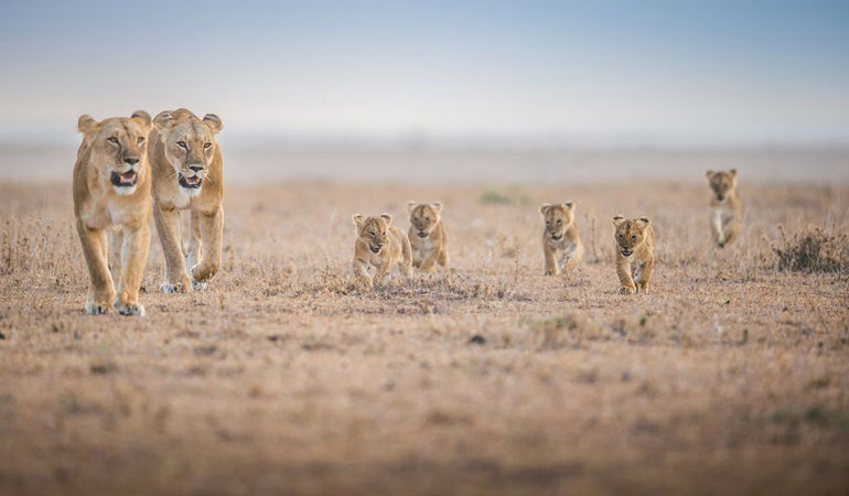 lion family pic