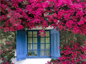Bougainvillea-flowers