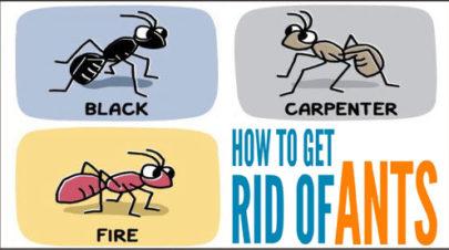 get-rid-ants