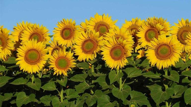 Sunflower-Facts