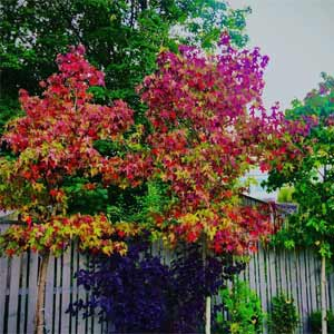 American-Sweetgum-tree