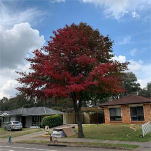 Black-tupelo-home-front-tree