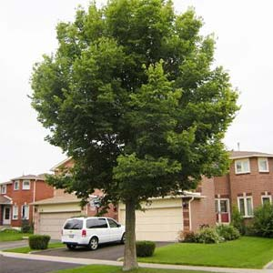 Hackberry-tree