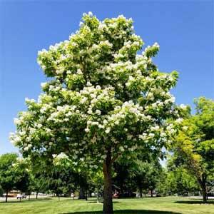 Northern-Catalpa-tree