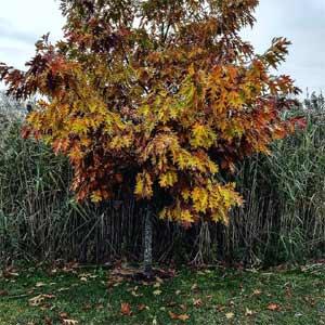 Pin-Oak-tree