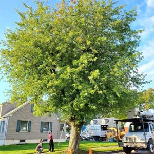 Silver-maple-tree